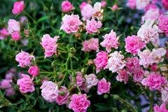 Flores coloridas ligeras y rosas rosadas dulces oscuras que florecen con el brote y las hojas en el jardín, fondo de la naturalez fotografía de archivo libre de regalías