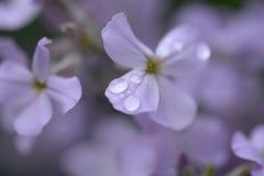 Flores coloridas lilás Foto de Stock Royalty Free