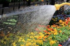 Flores coloridas molhando Fotografia de Stock