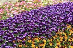 Flores coloridas no jardim Fotos de Stock
