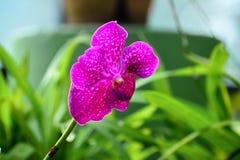 Flores coloridas no jardim botânico real Peradeniya, Sri Lanka Fotografia de Stock