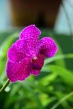 Flores coloridas no jardim botânico real Peradeniya, Sri Lanka Imagens de Stock