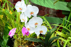 Flores coloridas no jardim botânico real Peradeniya, Sri Lanka Imagem de Stock Royalty Free