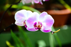 Flores coloridas no jardim botânico real Peradeniya, Sri Lanka Imagens de Stock Royalty Free
