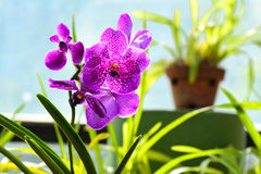 Flores coloridas no jardim botânico real Peradeniya, Sri Lanka Fotos de Stock