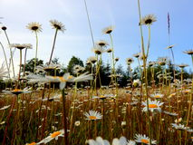 Flores coloridas nos campos!! Imagens de Stock Royalty Free