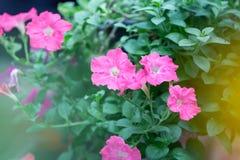 Flores coloridas para que colgante adorne el jardín F hermosa Fotografía de archivo