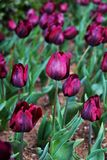 Flores coloridas plantadas no parque no tempo de mola fotos de stock royalty free