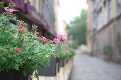 Flores coloridas que florecen en la maceta en la calle vieja Fotografía de archivo