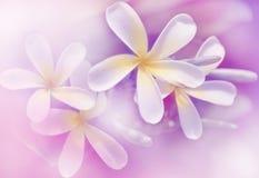 Flores coloridas suaves del frangipani Imagen de archivo libre de regalías