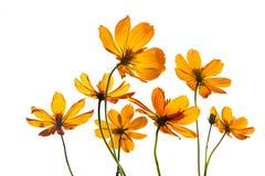 Flores coloridas transparentes en el fondo blanco aislado, color vibrante Imágenes de archivo libres de regalías
