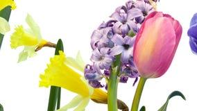 Flores coloridas, tulip?n, narciso, jacinto, an?mona en el movimiento en el fondo blanco stock de ilustración
