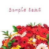 Flores coloridas vibrantes del Gerbera de la margarita Imagen de archivo