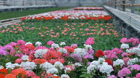 Flores coloridos brilhantes do pelargonium na flor vídeos de arquivo