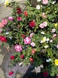 Flores coloridos de Rose Fotos de archivo libres de regalías