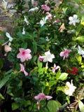 Flores coloridos del ‹del hibiscus†Foto de archivo libre de regalías