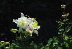Flores columbine color crema Imagen de archivo