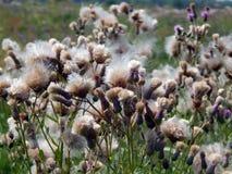 Flores com para baixo os cardos do prado Foto de Stock Royalty Free