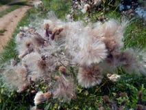 Flores com para baixo os cardos do prado Foto de Stock