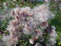 Flores com para baixo os cardos do prado Fotos de Stock Royalty Free