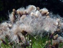 Flores com para baixo os cardos do prado Fotografia de Stock