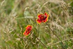 Flores combinadas de Feral Indian con la huésped de la abeja en un campo salvaje del verano Imágenes de archivo libres de regalías