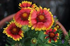 Flores combinadas indias coloridas en un pote Foto de archivo