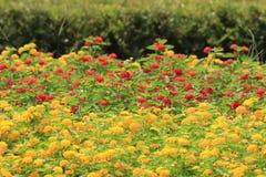 Flores comunes del Lantana Fotografía de archivo libre de regalías