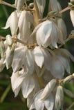 Flores comuns da mandioca Fotos de Stock Royalty Free