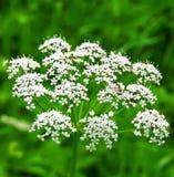Flores con la hormiga. Imagenes de archivo