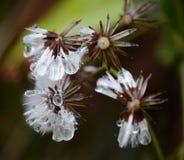 Flores con las gotas del hielo Fotografía de archivo libre de regalías