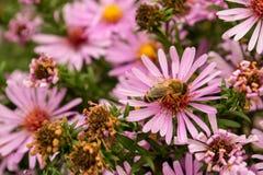 Flores con una abeja Fotos de archivo