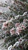 Flores congeladas Imagens de Stock Royalty Free