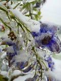 Flores congeladas congeladas azuis do delfínio Imagens de Stock Royalty Free