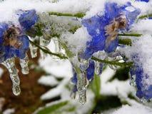 Flores congeladas congeladas azuis do delfínio foto de stock