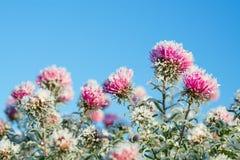 Flores congeladas cobertas com a geada Imagem de Stock