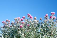 Flores congeladas cobertas com a geada Foto de Stock Royalty Free
