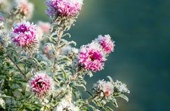 Flores congeladas cobertas com a geada Fotos de Stock Royalty Free