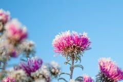 Flores congeladas cobertas com a geada Fotografia de Stock