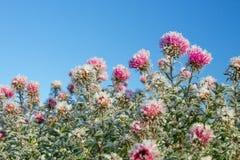 Flores congeladas cobertas com a geada Fotos de Stock