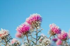 Flores congeladas cobertas com a geada Imagens de Stock