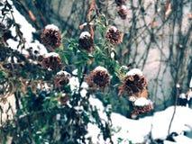 Flores congeladas cobertas na neve imagens de stock