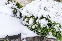 Flores congeladas de la manzanilla debajo de la nieve en fondo borroso Florete congelado imágenes de archivo libres de regalías