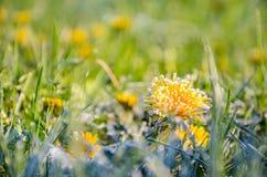 Flores congeladas de um dente-de-leão na manhã Frost foto de stock royalty free