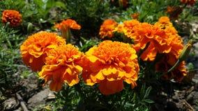 Flores consideravelmente alaranjadas Imagens de Stock Royalty Free