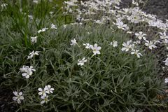 Flores consideravelmente brancas que florescem em um jardim fotos de stock