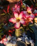 Flores consideravelmente cor-de-rosa Foto de Stock Royalty Free