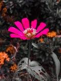 Flores consideravelmente cor-de-rosa foto de stock