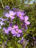Flores consideravelmente roxas fotografia de stock