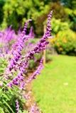 Flores consideravelmente roxas de Salvia e cores brilhantes na natureza Foto de Stock Royalty Free